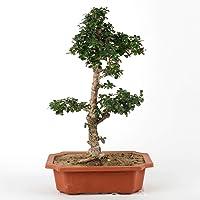 Ferns N Petals Money Plant
