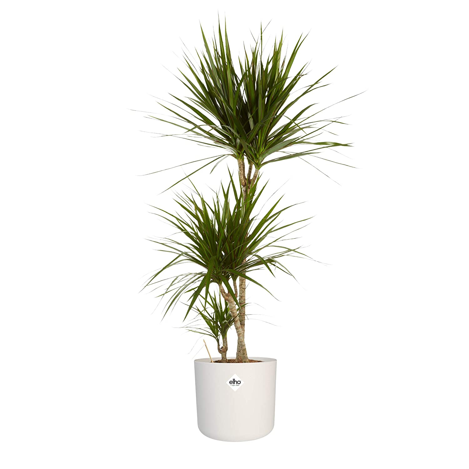 Indoor Plant from Botanicly Dragon Tree with White Cylindrical Plant Pot as a Set Height: 125 cm Dracaena Marginata