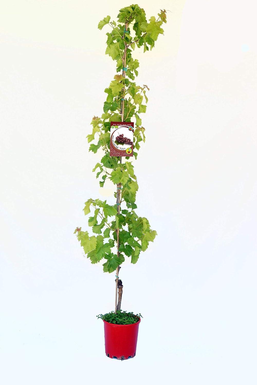 /Árbol frutal ecol/ógico de 2 a/ños Parra Red Globe ECO