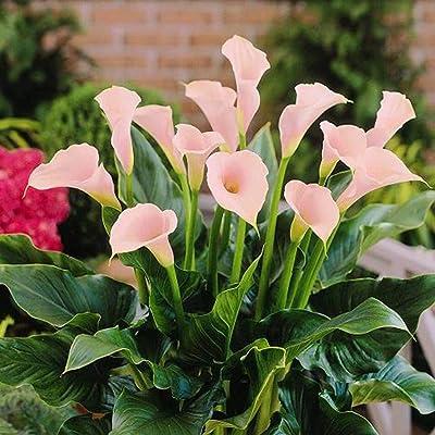 Zantedeschia Calla - 2 Flower Bulbs: Garden & Outdoor