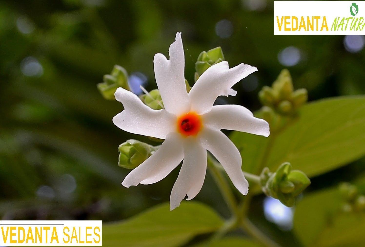 Vedanta sales live coral jasmine plant night flowering parijat plant vedanta sales live coral jasmine plant night flowering parijat plantpot included amazon garden outdoors izmirmasajfo
