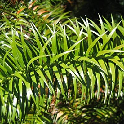 China FIR Cunninghamia Lanceolata 25, 50 Seeds : Garden & Outdoor