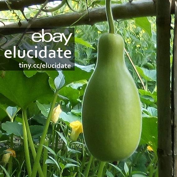 Bangladeshi vegetable large /& Long Bottle Gourd//Bangla Kodu 8 S 100/%organic