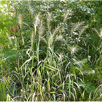 200 Bottlebrush Grass Native Ornamental Grass Seeds elymus hystrix : Garden & Outdoor