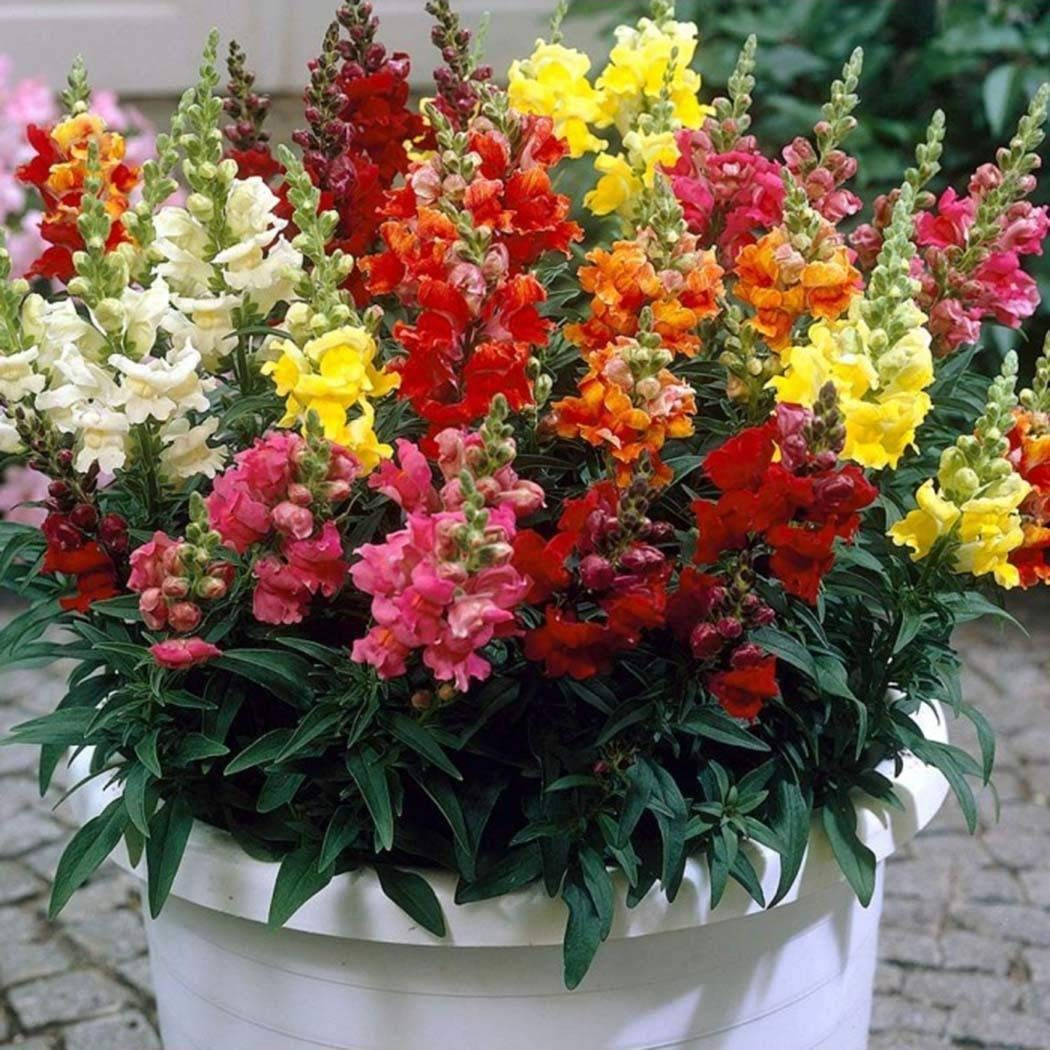 Anitra Perkins gelb 100 Korn Bio Lupinensamen Lupinus Zierblumen Massenhausgartenanlage Bitterlupine Gr/ünd/ünger D/üngelupinen Saatgut winterhart