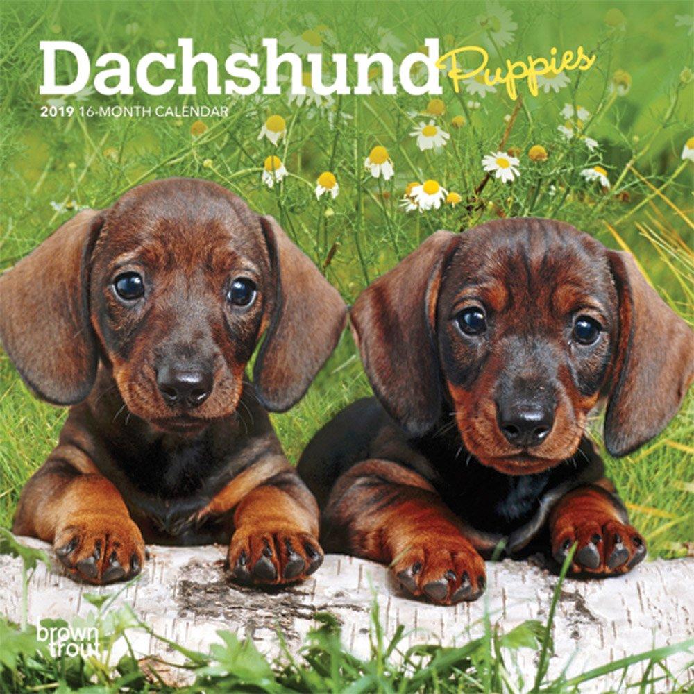 Dachshund Puppies 2019 Mini Wall Calendar (Multilingual) Calendar – Mini Calendar, Wall Calendar BrownTrout 1465075704 Animal Care Pets