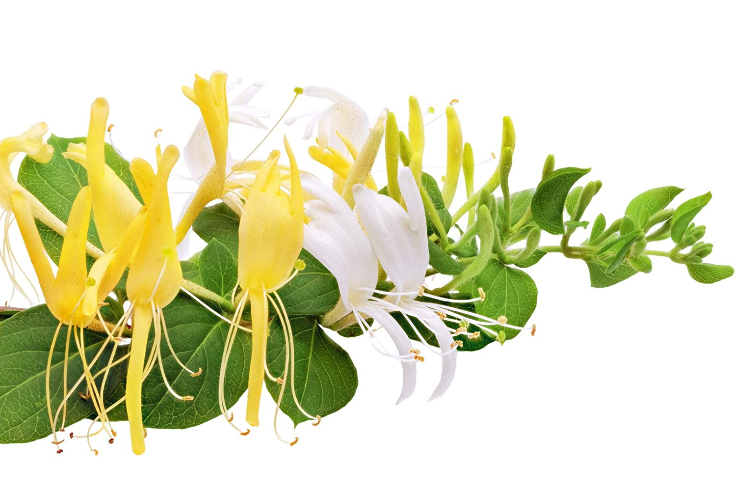 HONEYSUCKLE FRAGRANCE OIL - 1 OZ - FOR CANDLE & SOAP MAKING BY FRAGRANCEBUDDY- FREE S&H IN USA FR01060