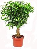 Ficus 'Babilatos' Stamm - Birkenfeige