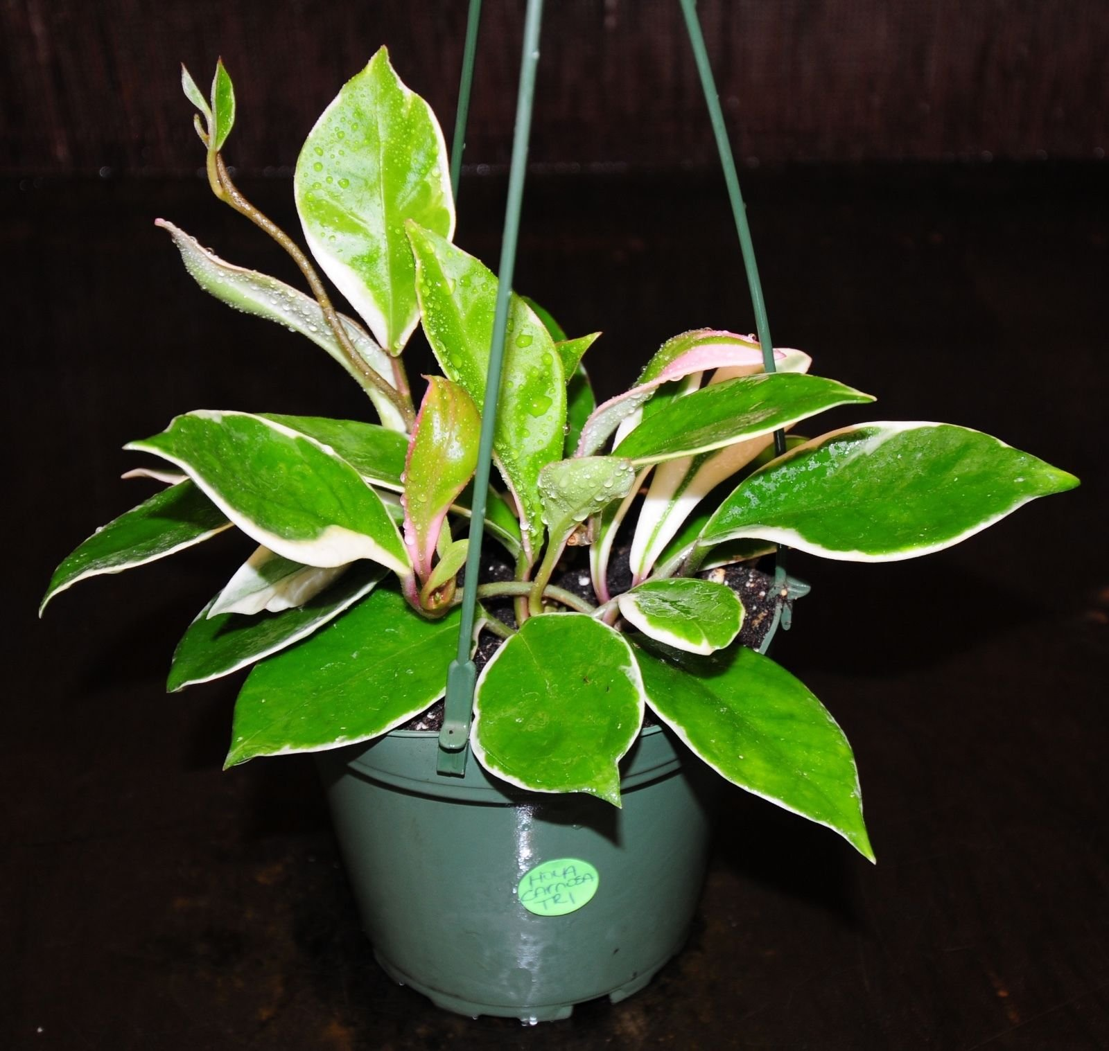 Awesome Hoya Carnosa Tricolor Hanging Baskets Excellent Orchid Companions (Premium Quality) by AY-Premium