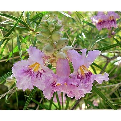 Desert Willow, Chilopsis Linearis, Tree/shrub 30 Seeds (Showy Flowers) : Garden & Outdoor