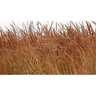 Indian Grass Seeds (100 Seeds) : Garden & Outdoor