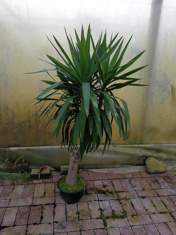 Yucca elephantipes 3er Tuff mit dicken St/ämmen 90-100 cm
