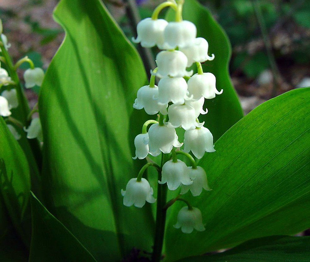White lily of the valley 10 pips convallaria great for shade white lily of the valley 10 pips convallaria great for shade flowering plants amazon izmirmasajfo