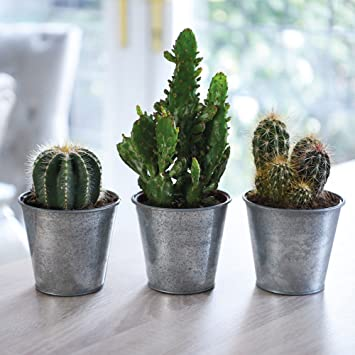Image result for house cactus