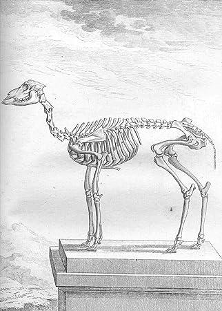 Vintage anatomía enano cabra por Georges-Louis Leclerc, Comte de ...