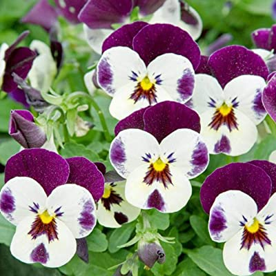 KOUYE GardenSeeds- 100 pcs Pansy Blend Flower Seeds Hardy Perennial Tricolor Flowers Seeds Cornuta Seeds for Patio/Balcony/Garden : Garden & Outdoor