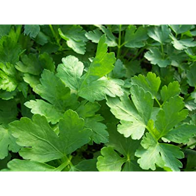 Italian Flat Leaf Parsley -100 Seeds- Garden Herb -80 Days- Aromatic Rich Green Leaves -Gourmet Taste- - Beautiful -Grow Inside Or Out : Garden & Outdoor