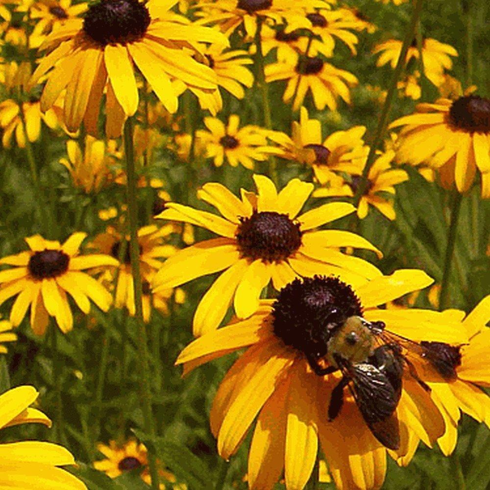 Everwilde Farms - 2000 Black-Eyed Susan Native Wildflower Seeds - Gold Vault Jumbo Seed Packet