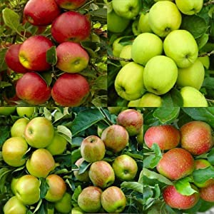 30Pcs Pink Lady Fuji Gala Honey Crisp Golden Delicious Native Fruit Apple Tree Seeds