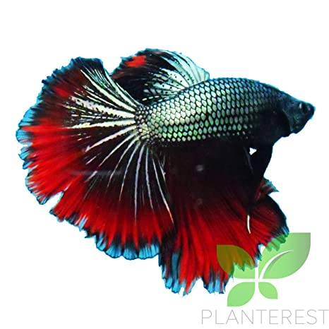 Amazon Com Live Aquarium Betta Fish Fancy Male Dark Red Blue