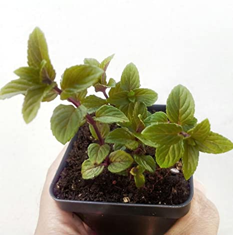 Amazon.com : Chocolate Mint Plant in 2.5 inch pot : Garden ... on house plant strawberry, house plant ginger, house plant candy cane, house plant sage, house plant lime, house plant pineapple, house plant banana,