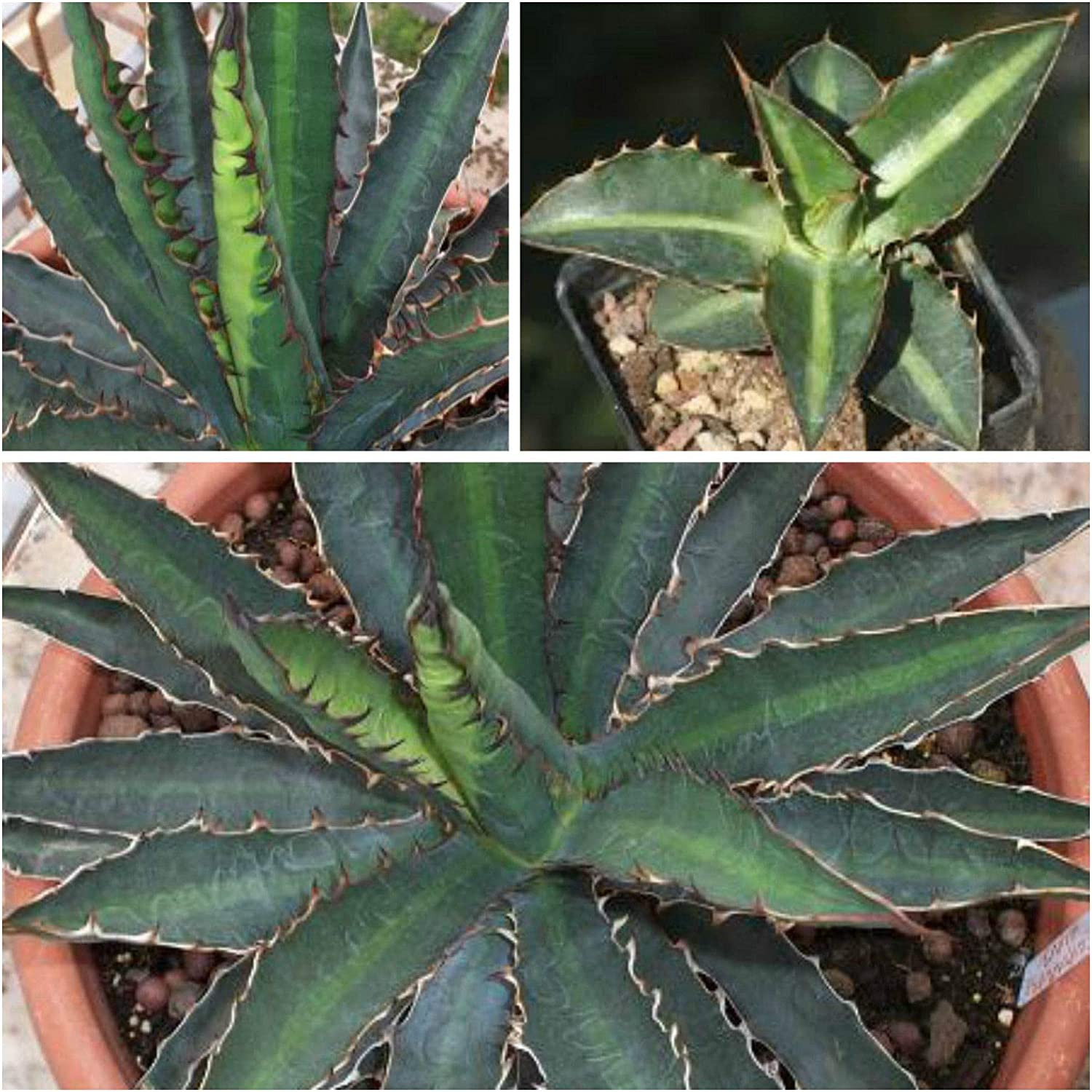 10 graines d/'agave triangularis,seed succulents F