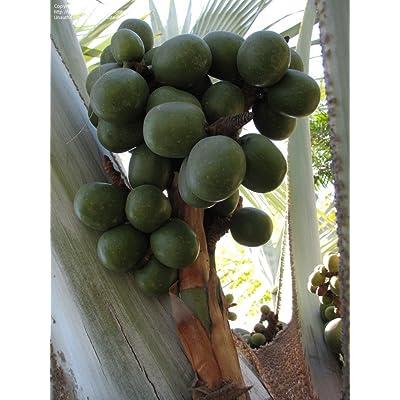 20 Bismarck Palm Seeds *Rare* *Exotic* Bismarckia Nobilis Giant Seeds : Garden & Outdoor [5Bkhe1300981]