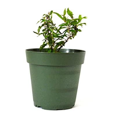 9GreenBox - Dwarf Pomegranate Tree - 4'' Pot : Tree Plants : Garden & Outdoor