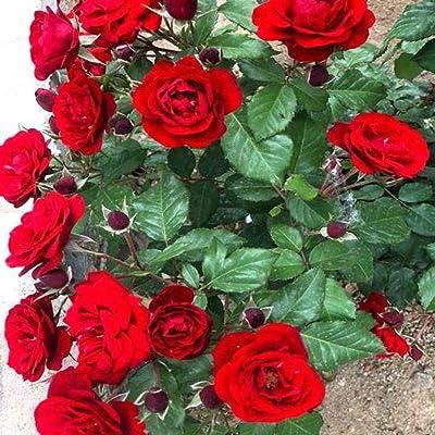 Jazmy 100 PCS Escalade Rose Graines Bonsaï Grimpeur Rose Bush Reblooming Rose Escalade En Pot Pour Jardin Décor : Garden & Outdoor
