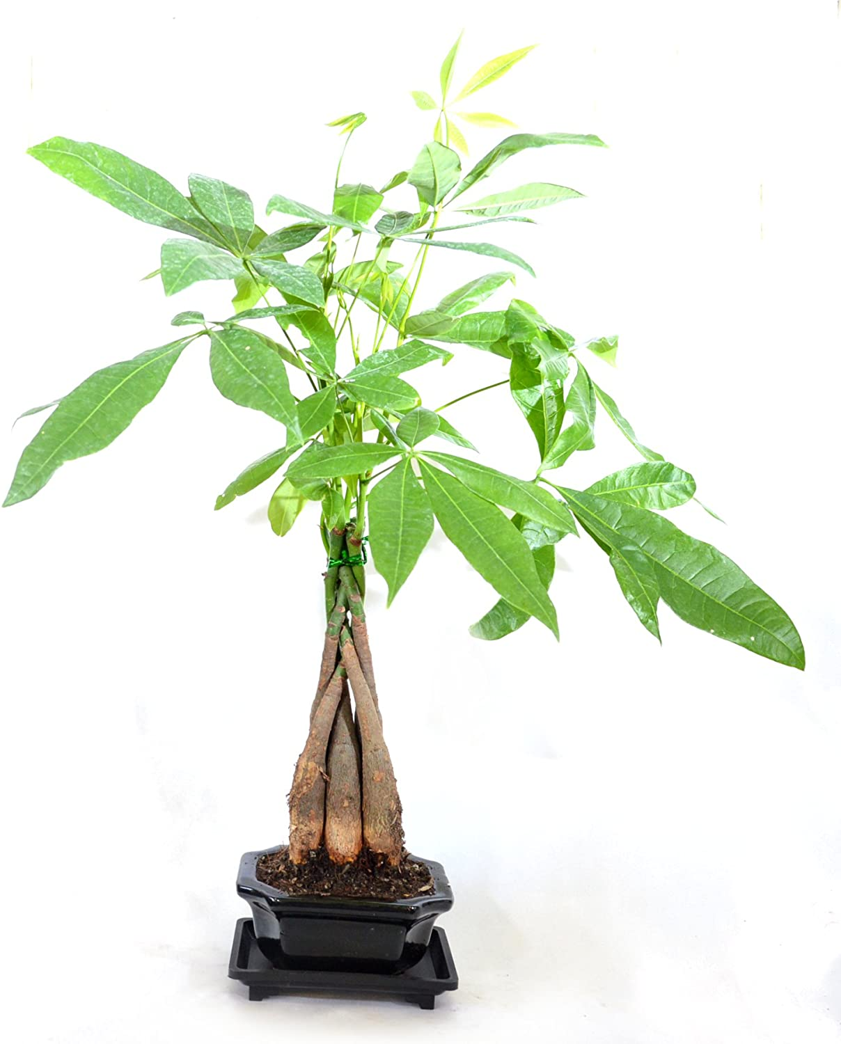 5 Braided Money Trees 9GreenBox Bonsai with Water Tray and Fertilizer
