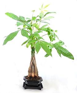 9Greenbox Money Tree Bonsai, 4 Pound