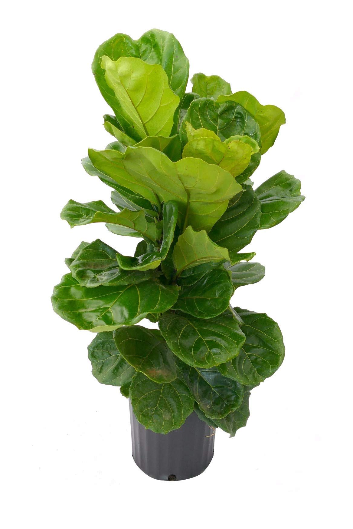 Acosta Farms - Fiddle Leaf Fig (Ficus Lyrata) - Live Indoor and Outdoor House Plant - 24''-36'' Tall in 9.25'' Pot - Planted and Grown by us, Handled with Extreme Care by Acosta Farms (Image #1)