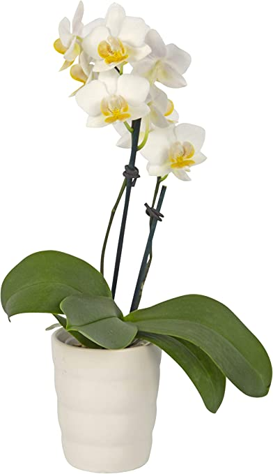 Amazon Com Color Orchids Live Phalaenopsis Mini Orchid Plant In