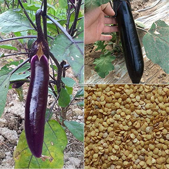 Portal Cool 50pcs Cultivar un huerto casero deliciosas Verduras ...