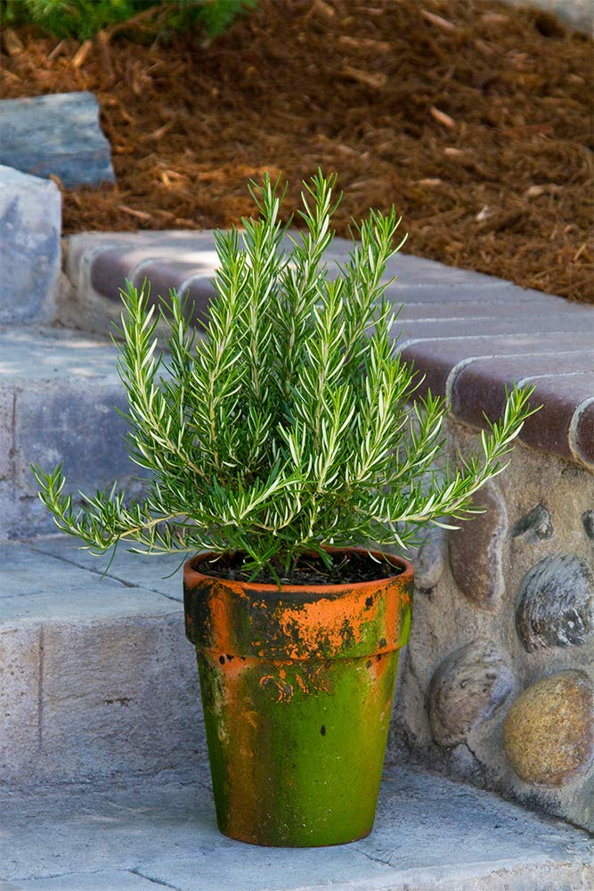 AMERICAN PLANT EXCHANGE Upright Rosemary Indoor/Outdoor Live Plant, 6'' 1 Gallon, Fragrant Cooking Spice by AMERICAN PLANT EXCHANGE (Image #2)