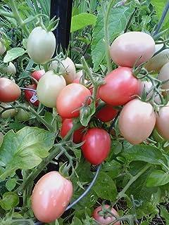 Plentree 40+ Thai rosa a base di uova di pomodoro Heirloom sementi biologiche non-OGM In Usa