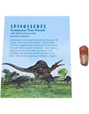 Spinosaurus Dinosaur Tooth Fossil 1/2 to 1 inch Size Small w/COA #2698 4o