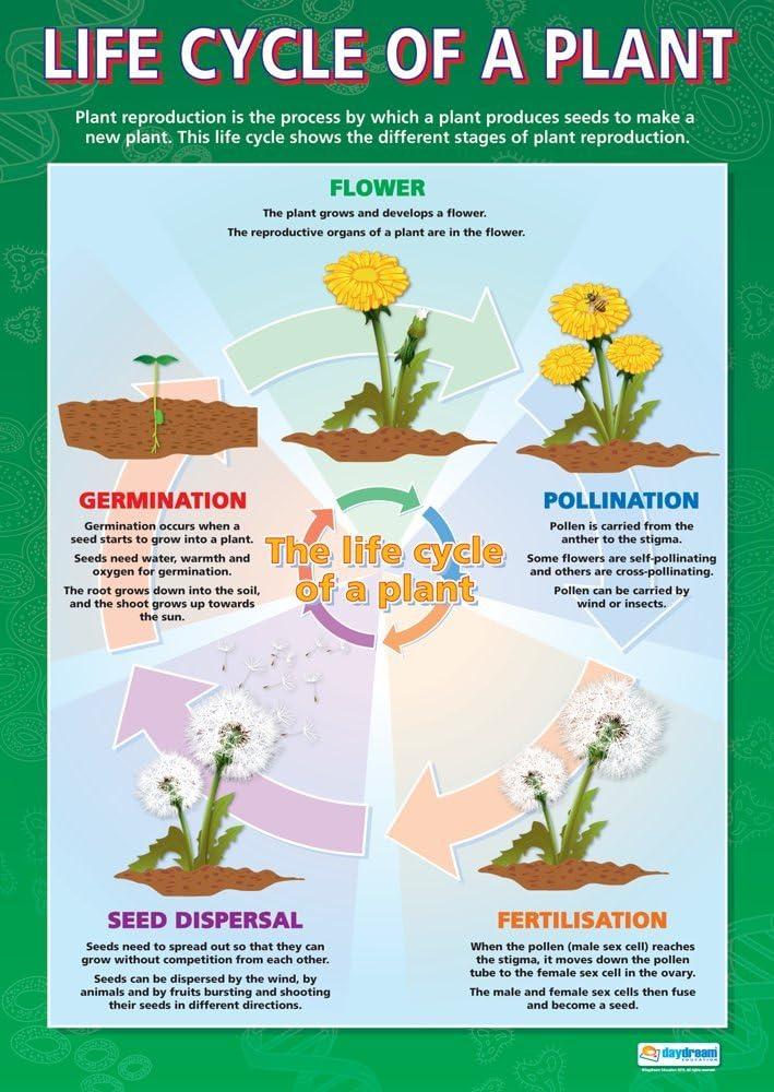 Ciclo de vida de una planta | Póster científico | Papel brillante de 850 mm x 594 mm (A1) | Gráficos de ciencia para el aula | Diagramas de educación de Daydream