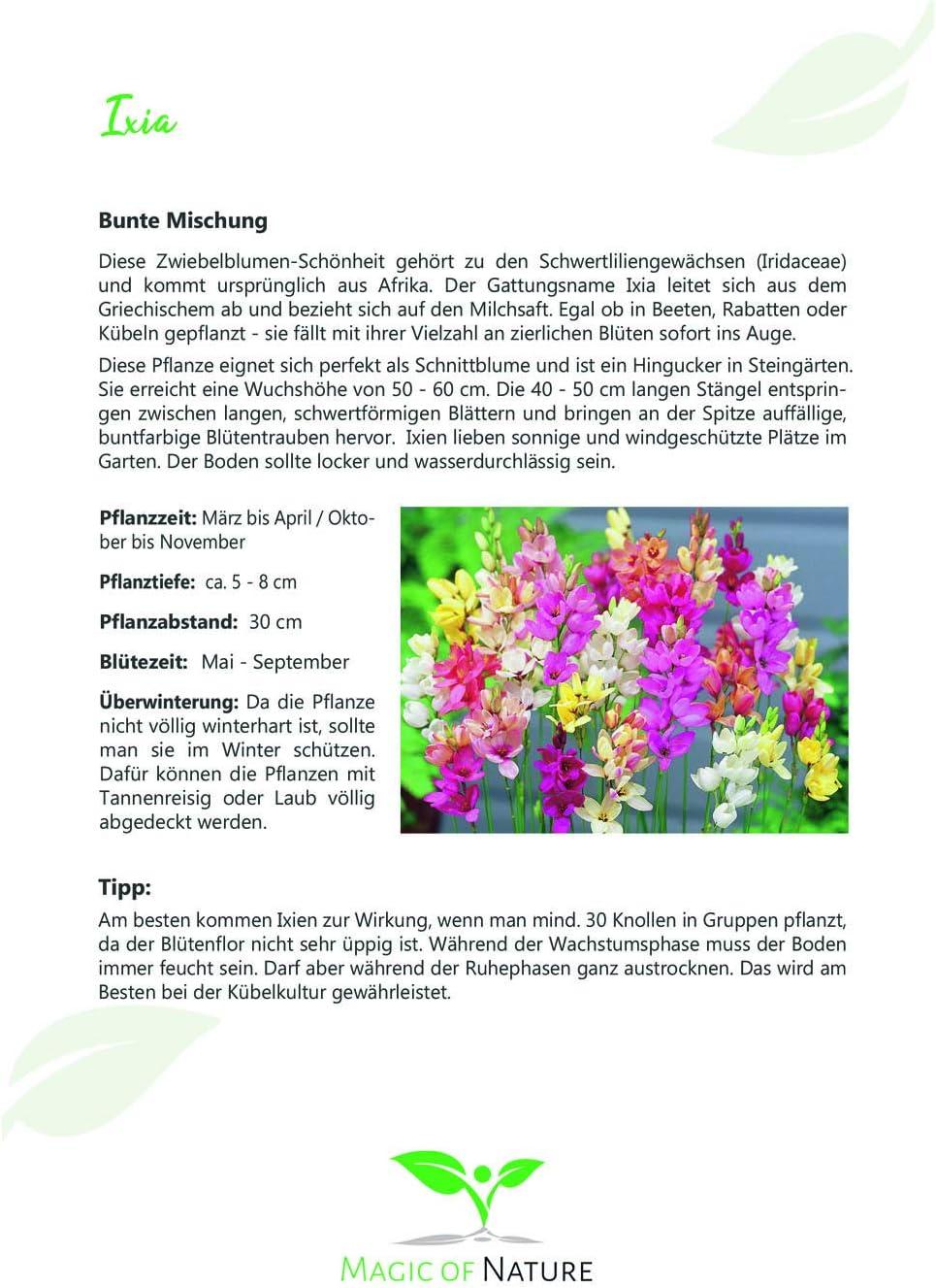 SAISONWARE 50 St/ück Ixia Mischung Blumenzwiebeln Gr.5//6 NUR KURZE ZEIT ERH/ÄLTLICH