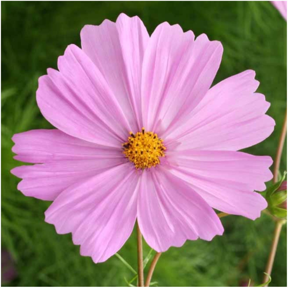 Amazon.com : Seed Needs Cosmos Wildflower Seed Packet Collection (12 ...