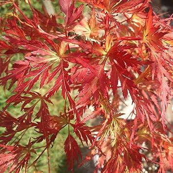 Acer Palmatum Seiryu Japanese Maple Deciduous Garden Shrub Plant