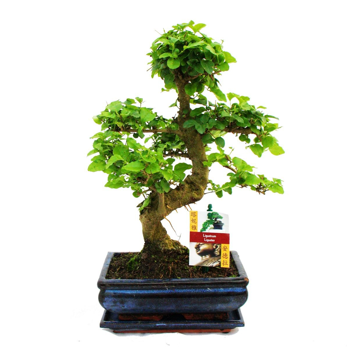 Bonsai Ligustrum 9 yrs old - 1 tree Gardens4you