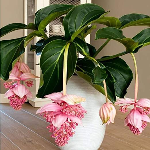 Fannty 100 Unids/pack Semillas de Flor de Linterna Hermosas ...