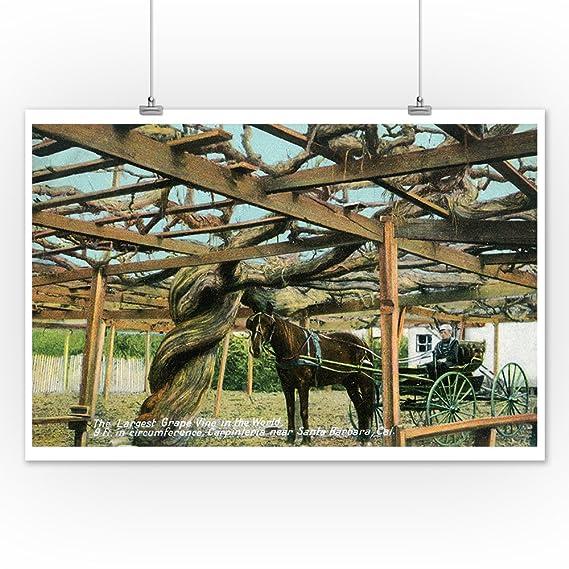 Amazon.com: Carpinteria, California - Largest Grape Vine in the World near Santa Barbara (9x12 Art Print, Wall Decor Travel Poster): Posters & Prints
