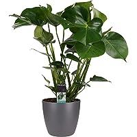 Planta de interior de Botanicly – Hoja de ventana en maceta antracita como un conjunto – Altura: 65 cm – Monstera…
