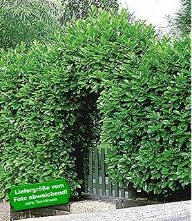 BALDUR Garten Immergrun Kirschlorbeer Hecke 5 Pflanzen Prunus Laurocerasus Rotundifolia Winterhart