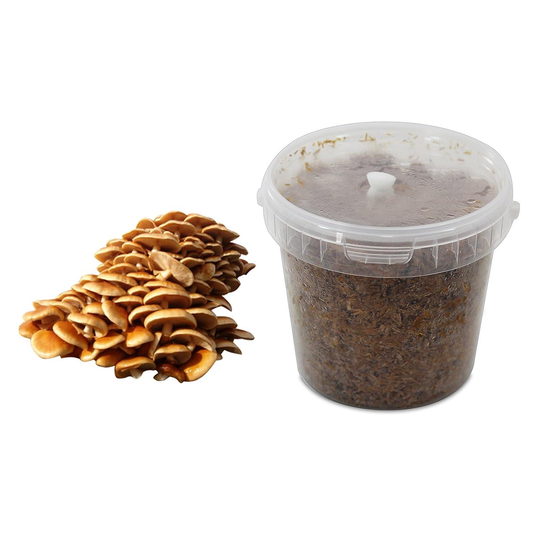 Stockschwämmchen-Substratbrut Pilzbrut, Pilze selber züchten, Pilzzucht Pilze selber züchten Pilzmaennchen