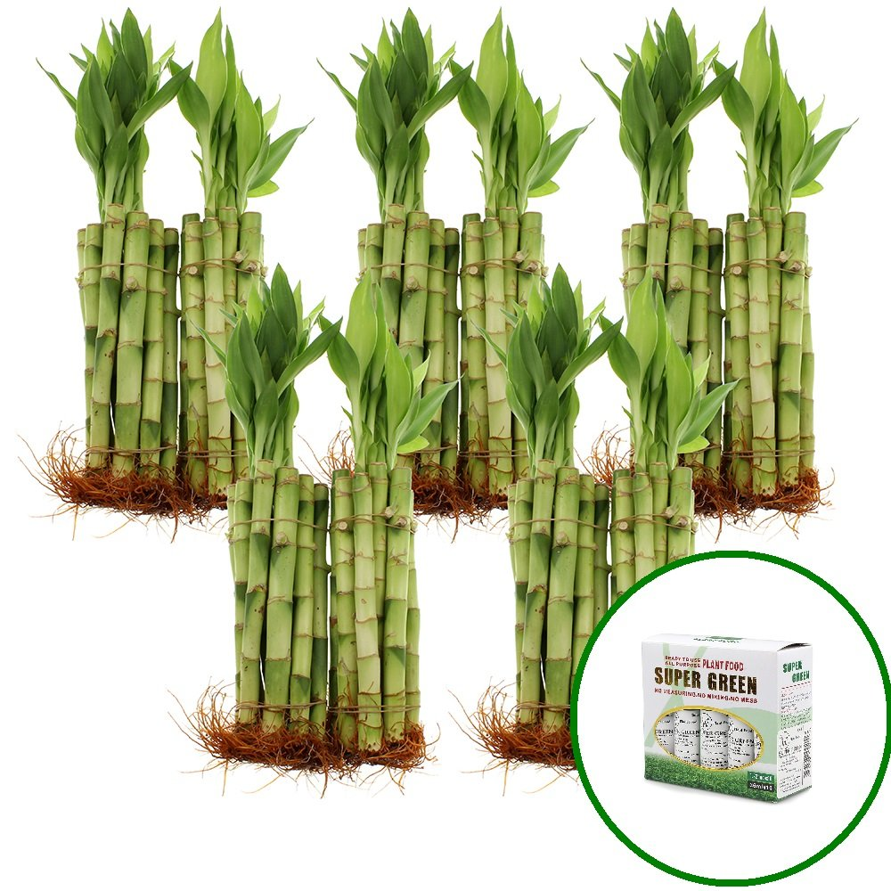 NW Wholesaler - Live Lucky Bamboo 8'' Straight Stalks w/ 10 Bottle of Free Bamboo Fertilizer by NW Wholesaler (Image #1)