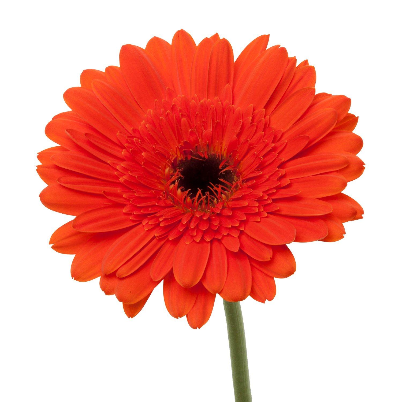 Gerbera Dark Center   Orange - 80 Stem Count by Flower Farm Shop