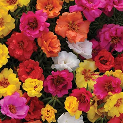 Moss Rose Seeds for Yard Gardening Plant, 100Pcs Fresh Flower Seeds Moss Rose Double Mix Portulaca Grandiflora Gardening by Mosichi : Garden & Outdoor